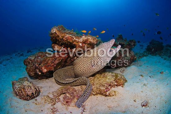 Laced moray out of its hole in the Indian Ocean  (Laced moray eel)