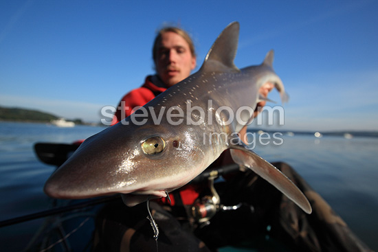 Sport fishing for sharks in a river estuary in Brittany (Starry smooth-hound shark)