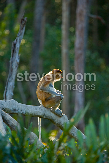 Proboscis monkey female on a root Labuk Bay Borneo (Proboscis monkey )