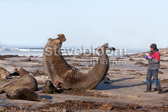 Southern Elephant Seal male in posture of intimidation (Southern elephant seal )