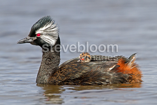 White-tufted Grebe carrying its young at the Faklands (White-tufted Grebe)