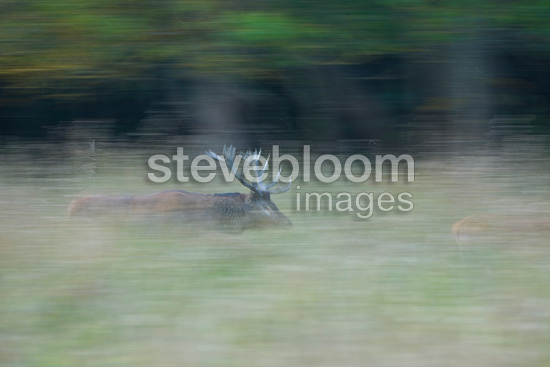 Male red deer running in the tall grass Spain (Red deer)