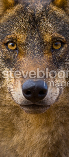 Portrait of Iberian wolf�Spain (Iberian wolf)