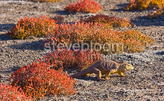 Land iguana in the Sesuvium Plaza Island Galapagos (Land Iguana)