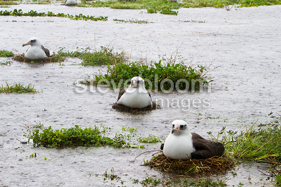 Laysan Albatross on their nest in water Sand Island (Laysan Albatross)