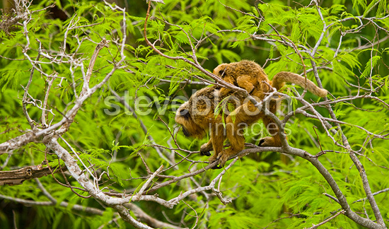 Black howler monkeys on a branch Pantanal Brazil (Black howler monkey)