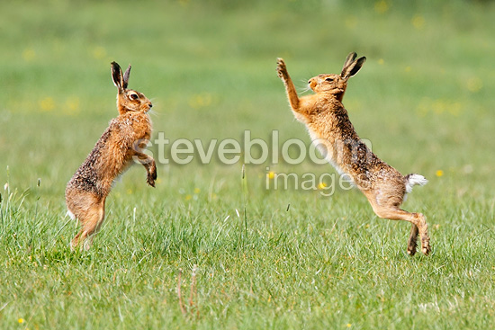 Brown hares boxing at spring England (European Hare )