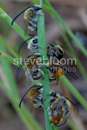 Solitary Bees in the spring