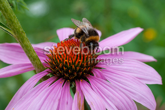Bumblebee on an echinacee flower in a garden