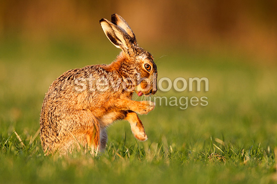 Brown hare cleaning itself in a meadow at spring England (European Hare )