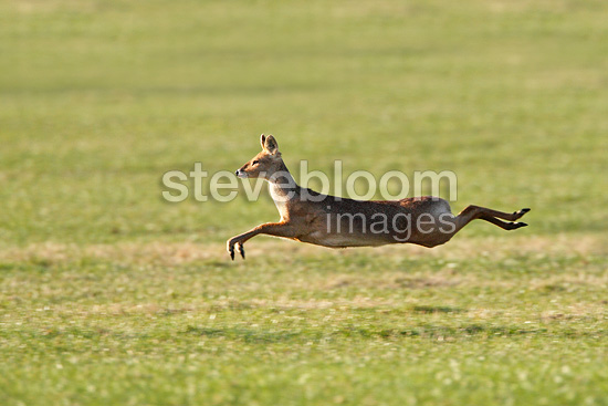 Deer Running Speed