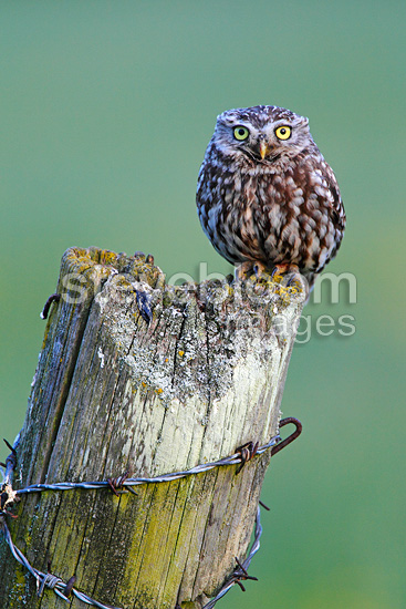 Little owl perched on a fence post England (Little owl)