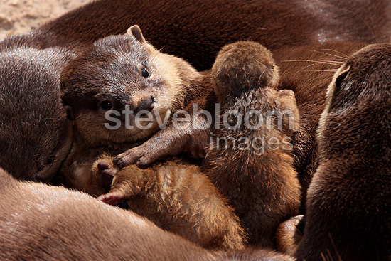 Oriental small-clawed otter resting with its young (Oriental Short-clawed Otter )
