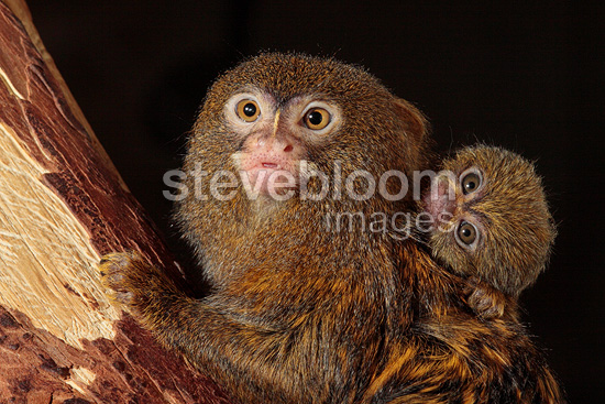 Pygmy Marmoset  with its young (Pygmy Marmoset)