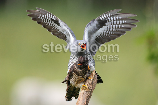 Cuckoo trying to mate with a stuffed decoy at spring GB (Cuckoo)