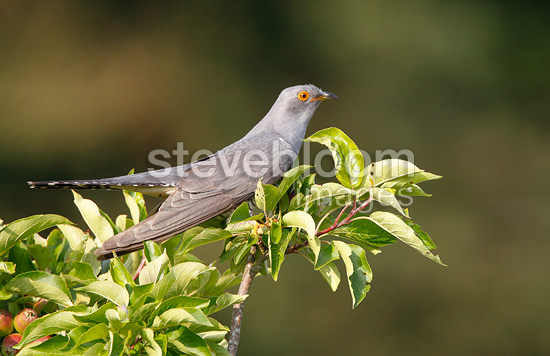 Cuckoo perched in a apple tree at spring GB (Cuckoo)