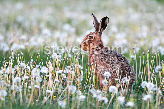 Brown hare eating a dandelion at spring England (European Hare )