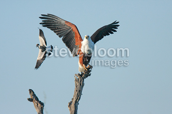 Blacksmith Lapwing attacking an African Fish-eagle,  Kruger NP, South Africa