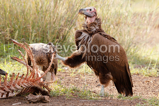 Lappet-faced Vulture and wildebeest carcass, Kruger NP, South Africa