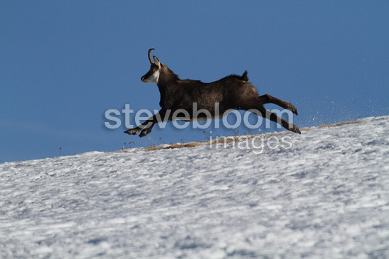 Northern Chamois in winter coat of snow on current France (Chamois)