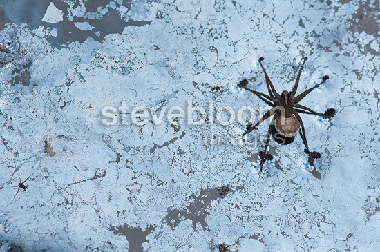 Lycosa on a water hole covered with humic acids France (Spider)