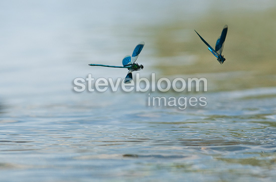 Damselflies flying over the Loire France