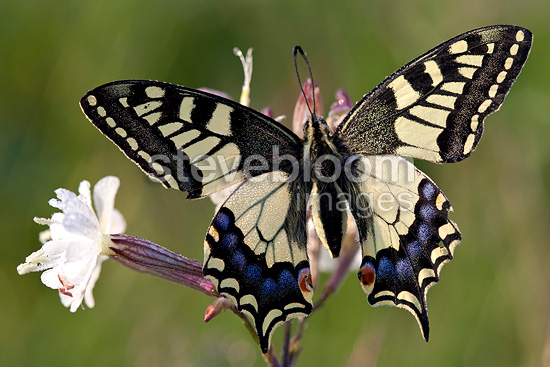 Swallowtail on a flower in the spring in Provence France