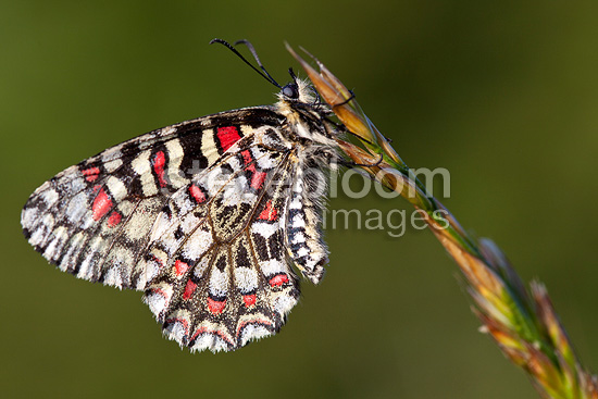 Spanish Festoon butterfly at spring in Provence France