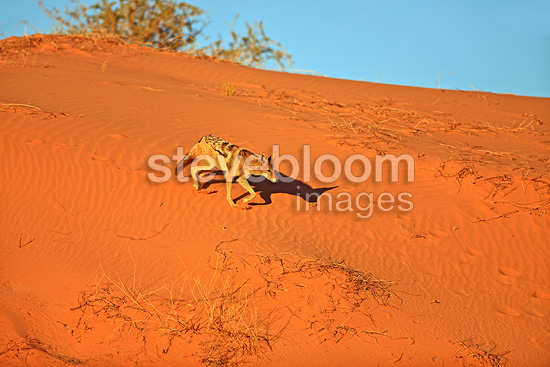 Black-backed jackal on a dune of the Kalahari Desert RSA (Back-backed jackal)