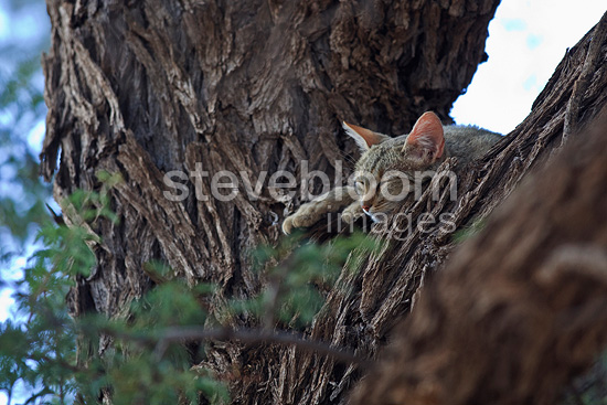 African wild cat asleep on top of a tree RSA (African Wildcat)