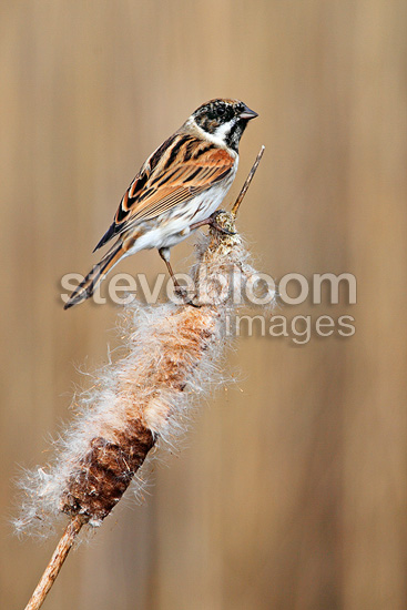 Male Reed bunting perched on a bullrush in winter GB (Reed bunding)
