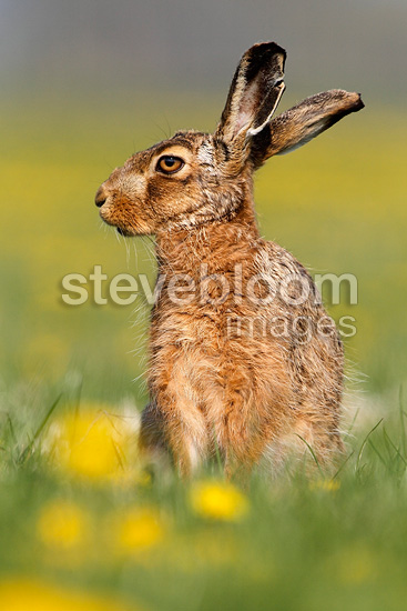 Brown hare stanging amongst dandelions at spring England (European Hare )