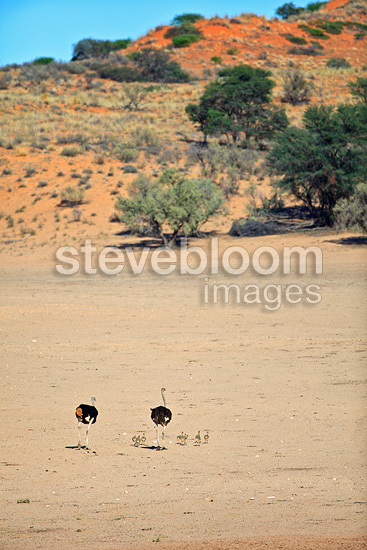 Ostriches and chicks in the Kalahari Desert in RSA (Ostrich)