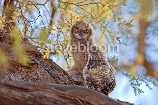 Young Spotted Eagle-owl on a branch Kalahari Gembsbok NP