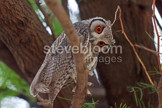 Southern White-faced Scops-Owl Kalahari Gemsbok NP in RSA (Southern White-faced Owl)