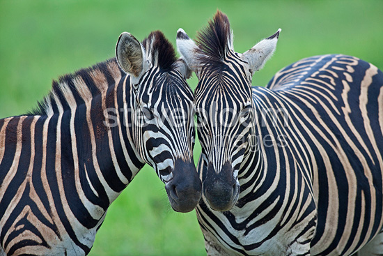 Plains zebras their snouts sticking one against the other RSA (Burchell's zebra )