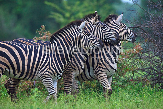 Comparison between plains zebras in Kruger NP RSA (Burchell's zebra )