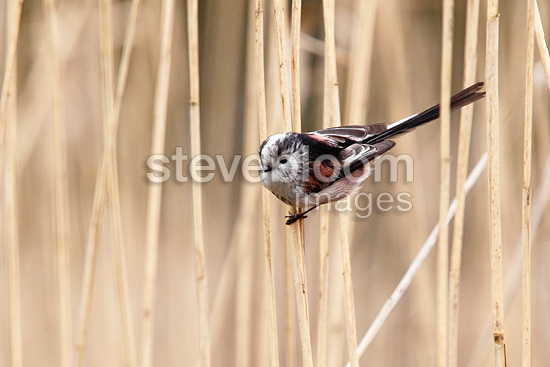 Long tailed tit perched in a reed bed in winter GB (Long-tailed tit)