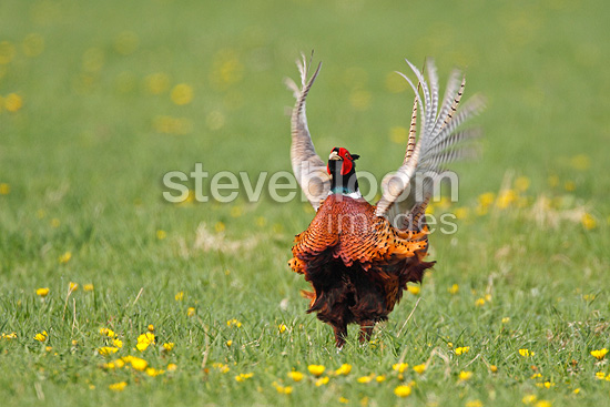 Phesant displaying at spring GB (Ring-necked pheasant)