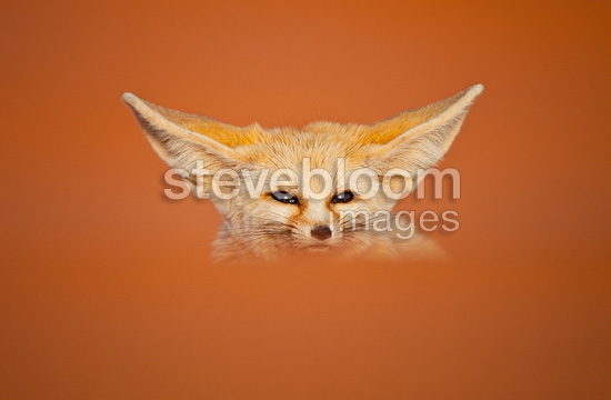 Portrait of Fennec in the Sahara Desert Morocco (Fennec)