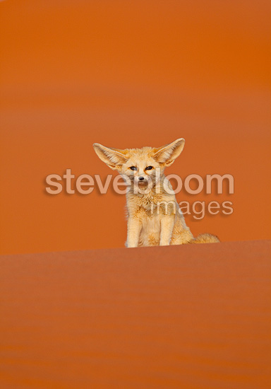 Fennec sitting in the Sahara Desert Morocco (Fennec)