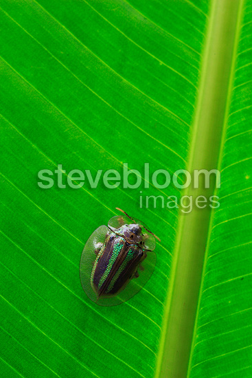 Target beetle on a leaf of Heliconia in Costa Rica (Target beetle)