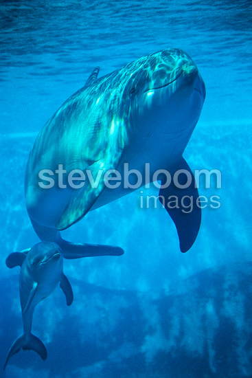 Bottlenose dolphin mother swimming with her newborn (captive)