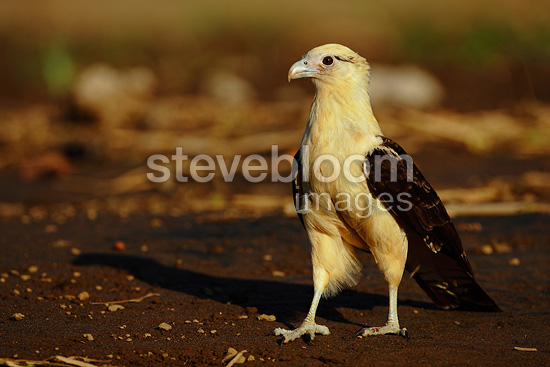 Yellow-headed caracara on the ground Costa Rica (Yellow-headed caracara)