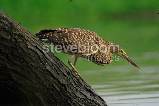 Bare-throated Tiger-heron on the lookout on the Rio Tarcoles (Bare-throated Tiger-Heron)