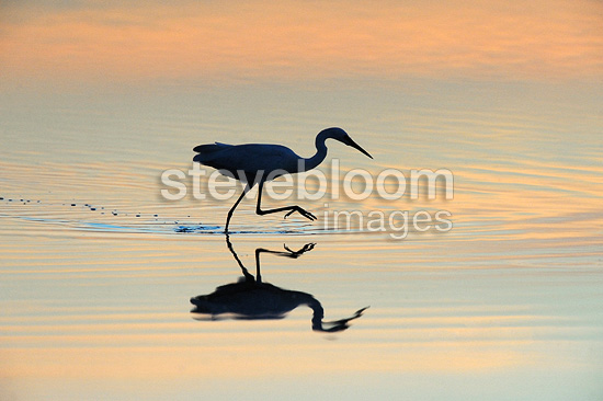 Little egret fishing at twilight on the Allier river France (Little egret)