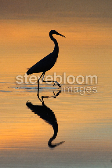 Little egret walking at twilight on the Allier river France (Little egret)