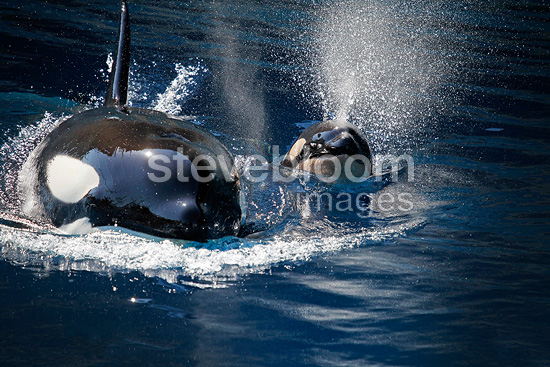 Female orca and her newborn coming on surface (Orca)