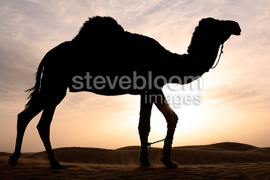 Dromedary in the Sahara Desert in Tunisia (Dromedary)