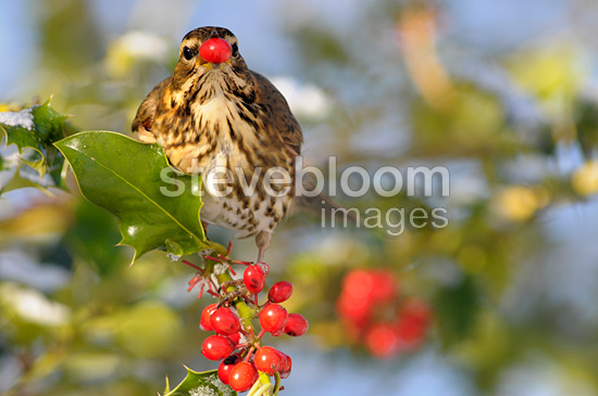 Redwing in winter in a Holly (Redwing)